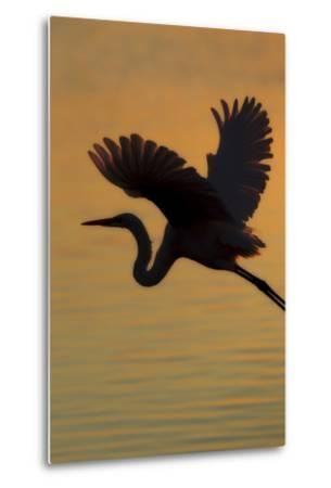 A Silhouetted Great Egret, Ardea Alba, Flying Over Water at Sunset-Robbie George-Metal Print