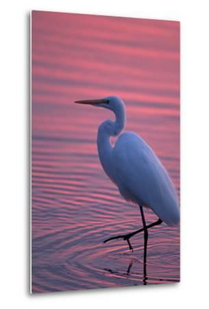 Portrait of a Great Egret, Ardea Alba, Walking the Shore at Sunset-Robbie George-Metal Print