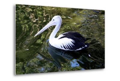 An Australian Pelican at a Zoo-Jill Schneider-Metal Print