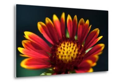 Close Up of a Mexican Sunflower-Vickie Lewis-Metal Print