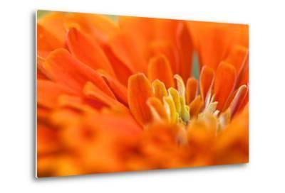 Extreme Close Up of An Orange Chrysanthemum Flower-Vickie Lewis-Metal Print