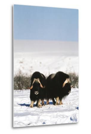 Musk Ox Bull Wildlife, Arctic National Wildlife Refuge, Alaska, USA-Hugh Rose-Metal Print