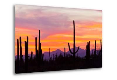Saguaro Forest, Sonoran Desert, Saguaro National Park, Arizona, USA--Metal Print