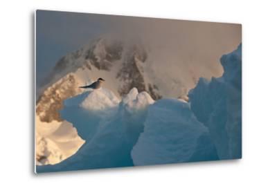 An Antarctic Tern Perched in the Sun on An Iceberg-Tom Murphy-Metal Print