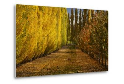 Orchard in Autumn, Ripponvale, Cromwell, Central Otago, South Island, New Zealand-David Wall-Metal Print