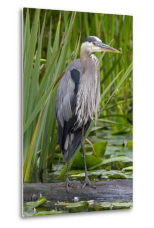 Great Blue Heron Bird, Juanita Bay Wetland, Washington, USA-Jamie & Judy Wild-Metal Print