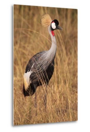 Portrait of a Grey Crowned Crane, Balearica Regulorum Gibbericeps-Joe Petersburger-Metal Print