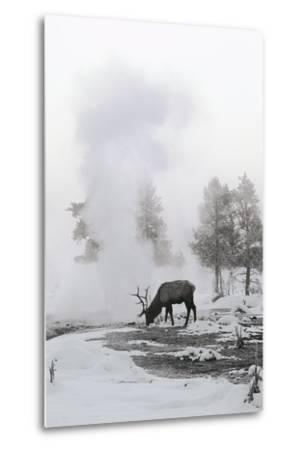 Reindeer Looking for Grass under the Snow--Metal Print