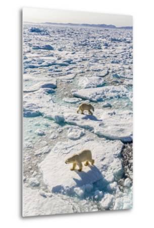 Adult Polar Bears (Ursus Maritimus)-Michael-Metal Print