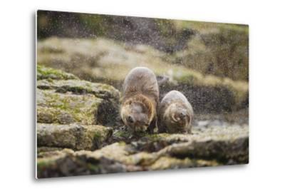 European Otter (Lutra Lutra) Mother and Cub Shaking Water from their Coats-Mark Hamblin-Metal Print