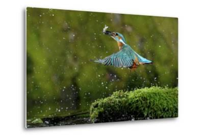 Common Kingfisher {Alcedo Atthis} Coming Up Out of Water with Fish, Lorraine, France-Poinsignon and Hackel-Metal Print