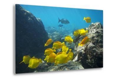 School of Yellow Tang Nderwater Near La Perousse, Makena, Maui, Hawaii-Ron Dahlquist-Metal Print