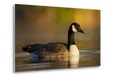 A Canada Goose on a Lake in Southern California-Neil Losin-Metal Print