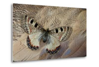 False Apollo Butterfly, Archon Apollinus, and Shoulder Feathers of Senegal Buster-Darrell Gulin-Metal Print