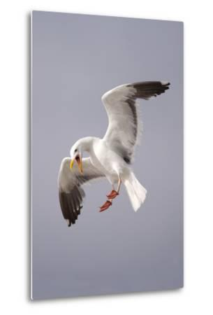 USA, California, La Jolla. a Seagull Flying over the Pacific Coast-Jaynes Gallery-Metal Print
