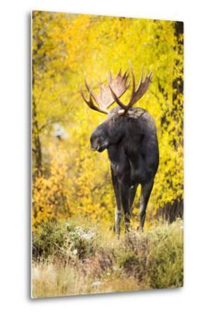 A Bull Moose with Wet Fur Walks from Fall Cottonwood Trees in Grand Teton National Park, Wyoming-Mike Cavaroc-Metal Print