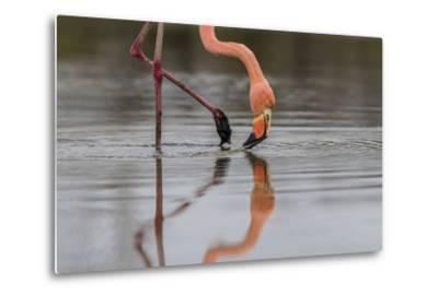 Flamingo Eating in the Galapagos Islands, Ecuador-Karine Aigner-Metal Print