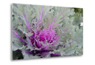 New York, Rhinebeck. Detail of Green and Purple Ornamental Kale-Cindy Miller Hopkins-Metal Print
