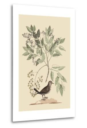Ground Dove-Mark Catesby-Metal Print