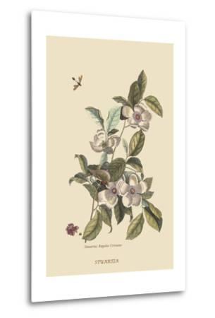Stuartia - Camellia-Mark Catesby-Metal Print