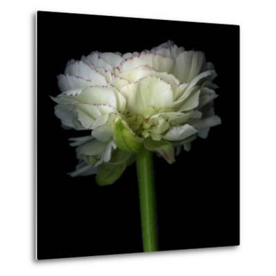 Ranunculus White-Magda Indigo-Metal Print