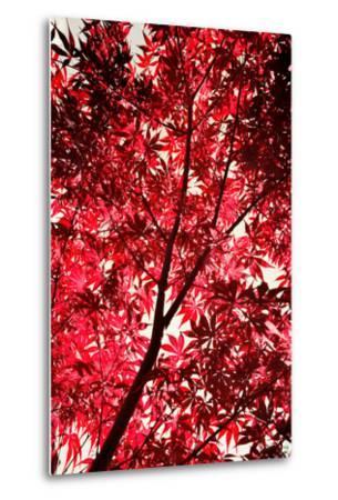 Red on Air-Philippe Sainte-Laudy-Metal Print