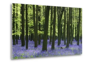 Bluebells at Dockey Wood on the Ashridge Estate-Alistair Laming-Metal Print