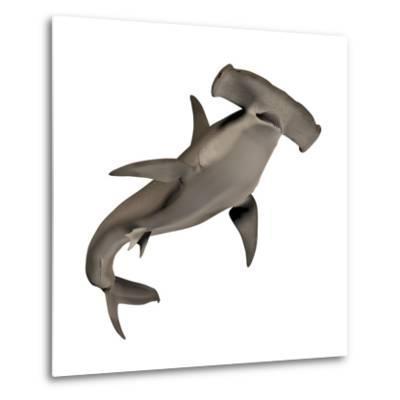 Hammerhead Shark--Metal Print