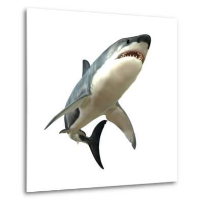 Great White Shark--Metal Print