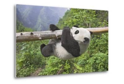 Giant Panda Cub Hanging from Tree Trunk-Frank Lukasseck-Metal Print