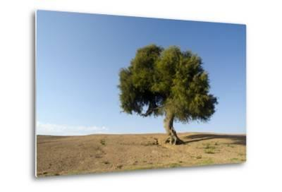 Old Khejri Tree in Desert, Bap (Aka. Baap), Rajasthan, India--Metal Print