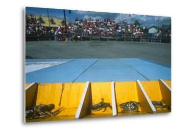Crab Race, Crisfield Hard Crab Derby Festival, Eastern Shore, Maryland--Metal Print