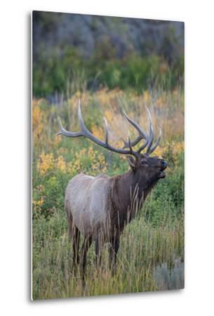 Side Portrait of an Elk Calling Out-Tom Murphy-Metal Print