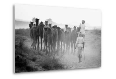 Herd of Camels, Pushkar Fair, Rajasthan, India, 1976--Metal Print