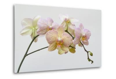 Moth Orchid (Phalaenopsis Lundy) Epiphyte--Metal Print