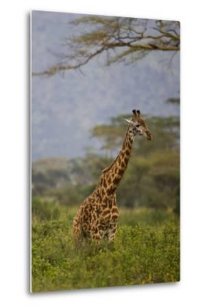 Ngorongoro Crater, Tanzania, Africa: A Giraffe under an Acacia Tree in Ngorongoro Crater-Ben Horton-Metal Print