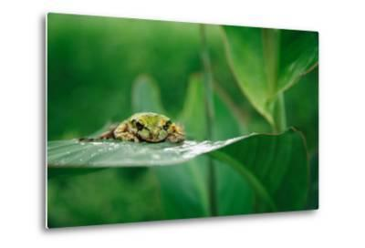Nosara, Costa Rica: A Frog Sits Out a Rainstorm on a Broad Leafed Plant-Ben Horton-Metal Print