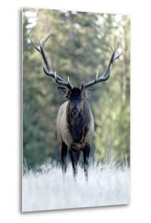 A Bull Elk, Cervus Canadensis, Stands in a Frost Covered Meadow-Barrett Hedges-Metal Print