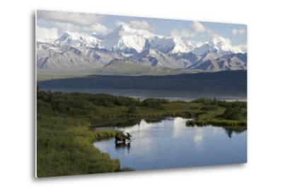 A Bull Moose, Alces Alces, Enters a Kettle Pond in the Backcountry of Denali National Park-Barrett Hedges-Metal Print