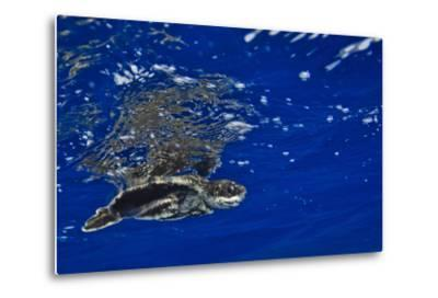 A Leatherback Sea Turtle Hatchling Swimming at the Water's Surface-Jim Abernethy-Metal Print
