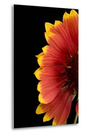 Part of a Fire Wheel Flower, Gaillardia Pulchella-Joel Sartore-Metal Print