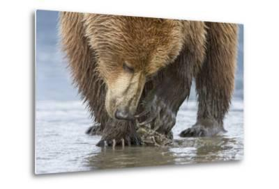 A Grizzly Bear, Ursus Arctos Horribilis, Opening a Clam with its Claws-Barrett Hedges-Metal Print