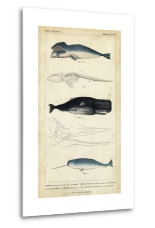 Antique Whale and Dolphin Study III-G. Henderson-Metal Print