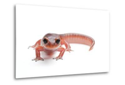 An Ensatina Salamander, Ensatina Eschscholtzii Eschscholtzii-Joel Sartore-Metal Print