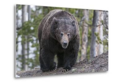 A Grizzly Bear, Ursus Arctos Horribilis, Walks on a Trail-Barrett Hedges-Metal Print