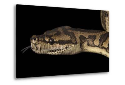 A Coastal Carpet Python, Morelia Spilota Mcdowelli, at the Wild Life Sydney Zoo-Joel Sartore-Metal Print
