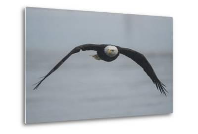 Portrait of a Bald Eagle, Haliaeetus Leucocephalus, in Flight-Bob Smith-Metal Print