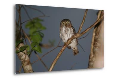 A Cuban Pygmy Owl, Glaucidium Siju, Perched in a Tree, Looking at the Camera-Cagan Sekercioglu-Metal Print