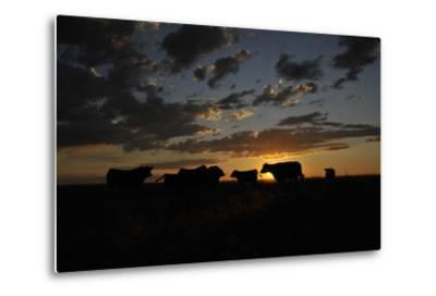 Cattle in a Pasture are Silhouetted by the Sunrise-Michael Forsberg-Metal Print