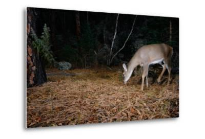 A White-Tailed Deer Forages in the Forest at Night-Michael Forsberg-Metal Print